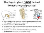 the thyroid gland is not derived from pharyngeal pouches
