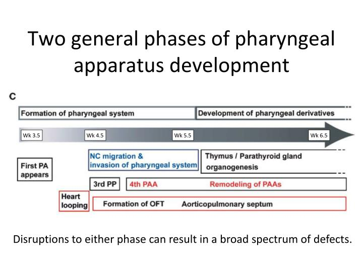 Two general phases of pharyngeal apparatus development