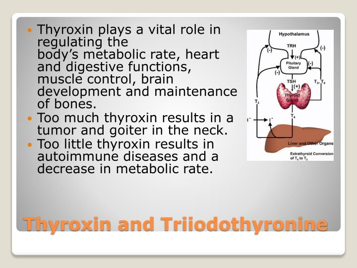 Thyroxin plays a
