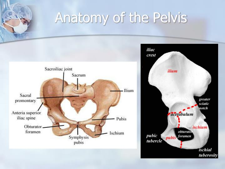 sythesis pubis The pelvic brim extends from promontory of the sacrum, arcuate line of the ilium, pectineal line (pectin of pubis) and pubic crest some people divide the pelvis into a greater (or false) pelvis and lesser (or true) pelvis.