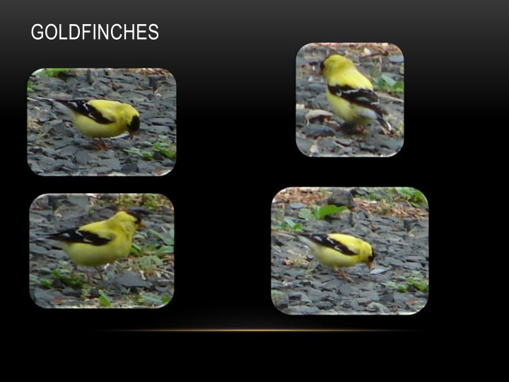 Goldfinches1