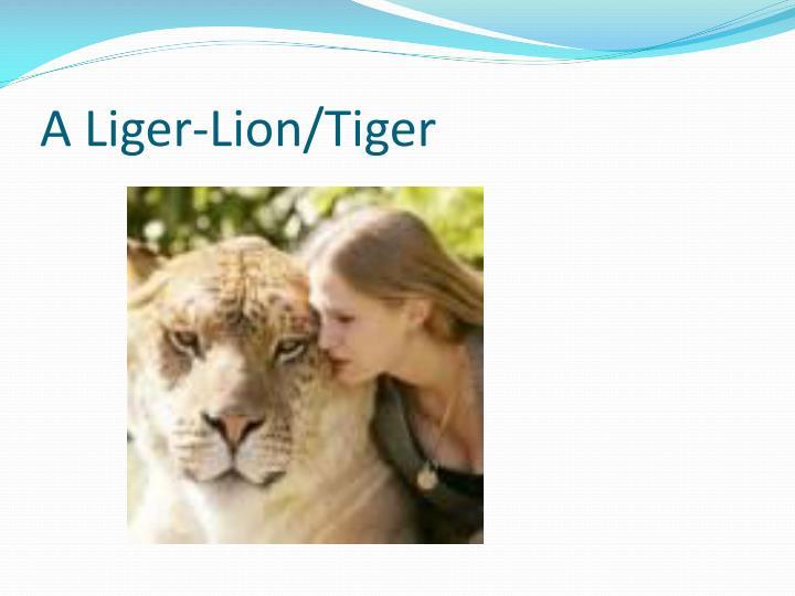 A Liger-Lion/Tiger