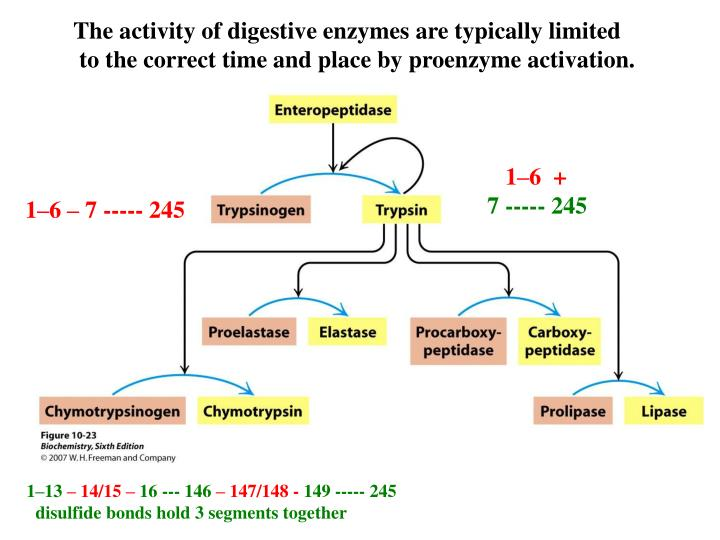 The activity of digestive enzymes are typically limited