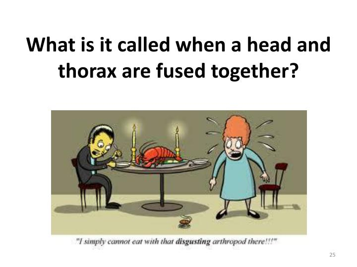What is it called when a head and thorax are fused together?