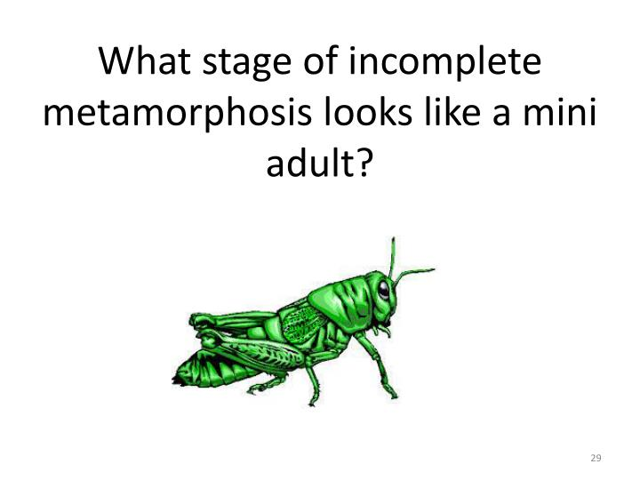 What stage of incomplete metamorphosis looks like a mini adult?