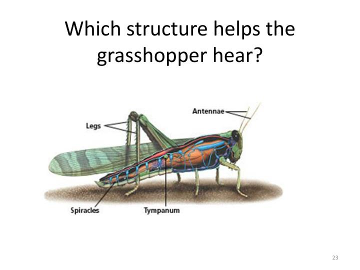 Which structure helps the grasshopper hear?