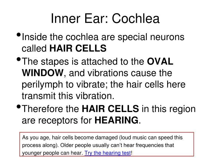 Inner Ear: Cochlea