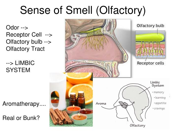 Sense of Smell (Olfactory)