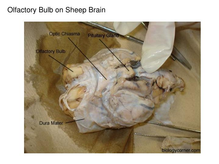 Olfactory Bulb on Sheep Brain