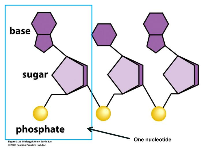 One nucleotide