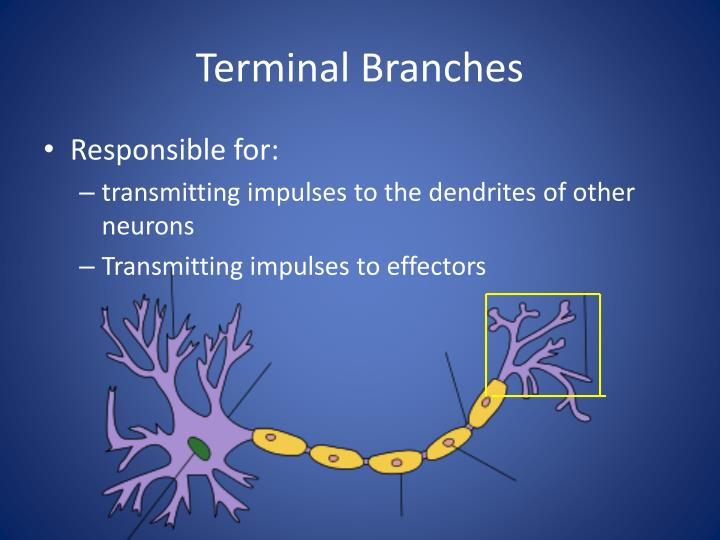 Terminal Branches