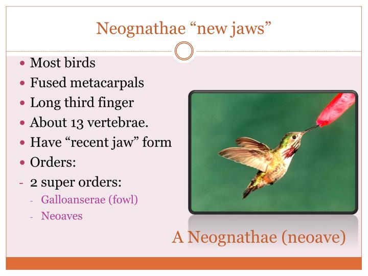 "Neognathae ""new jaws"""