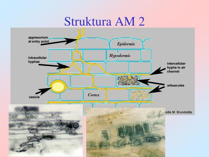 Struktura AM 2
