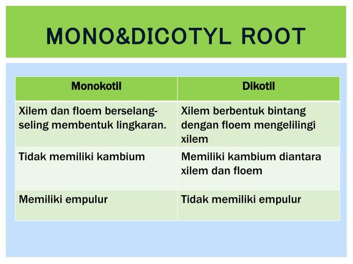 Mono&dicotyl root