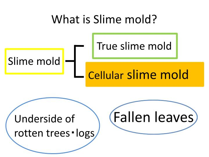What is Slime mold?