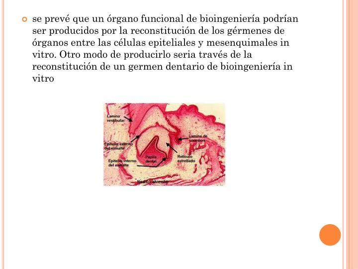 se prevé que un órgano funcional de bioingeniería podrían ser producidos por la reconstitución de los gérmenes de órganos entre las células epiteliales y mesenquimales in