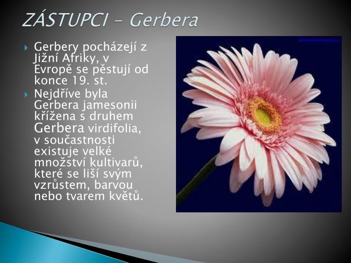 ZÁSTUPCI - Gerbera