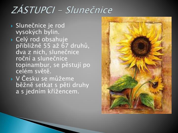 ZÁSTUPCI - Slunečnice