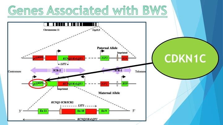 Genes associated with bws