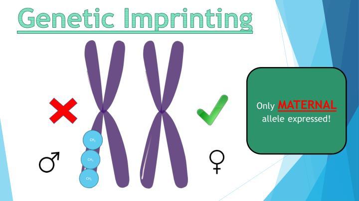Genetic Imprinting