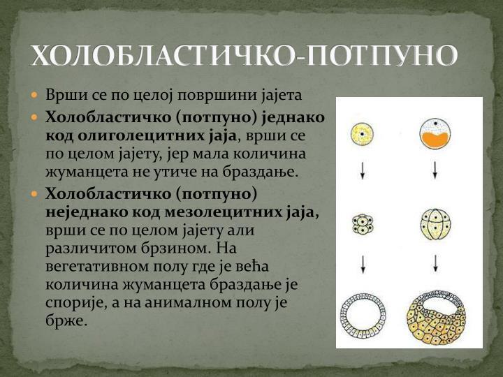 ХОЛОБЛАСТИЧКО-ПОТПУНО