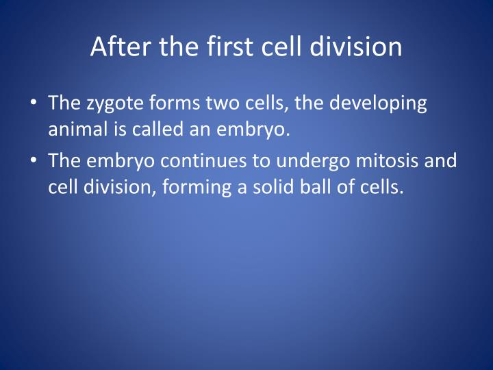 After the first cell division