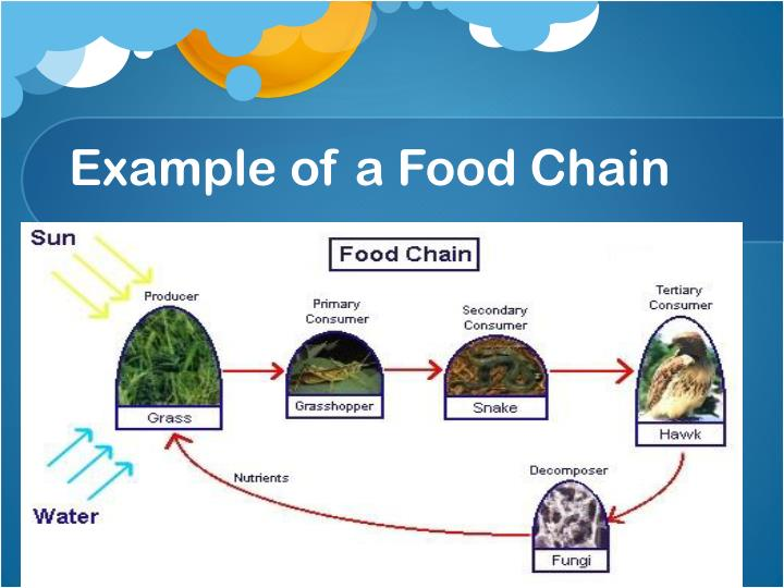 Example of a Food Chain