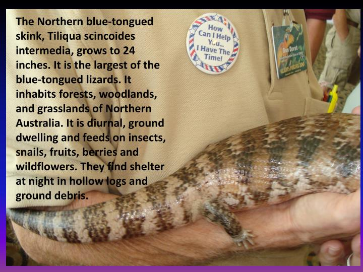 The Northern blue-tongued skink,