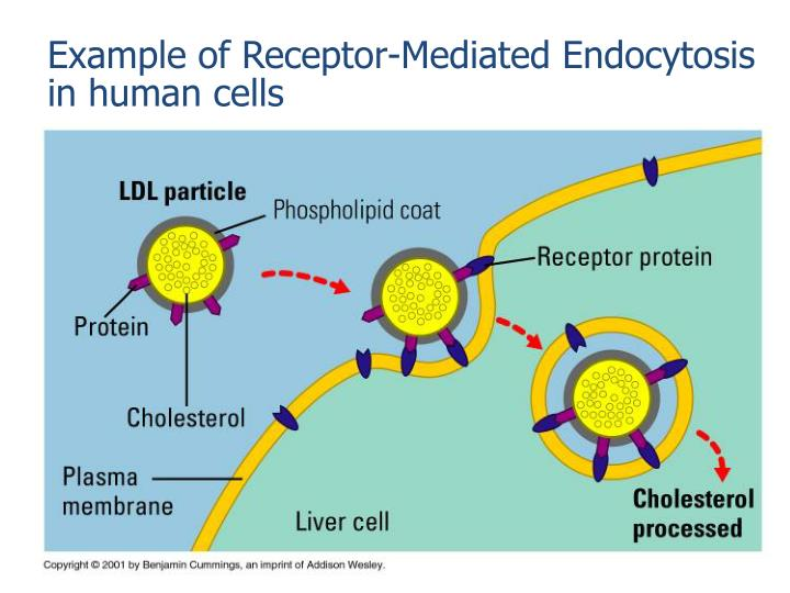 Example of Receptor-Mediated Endocytosis in human cells