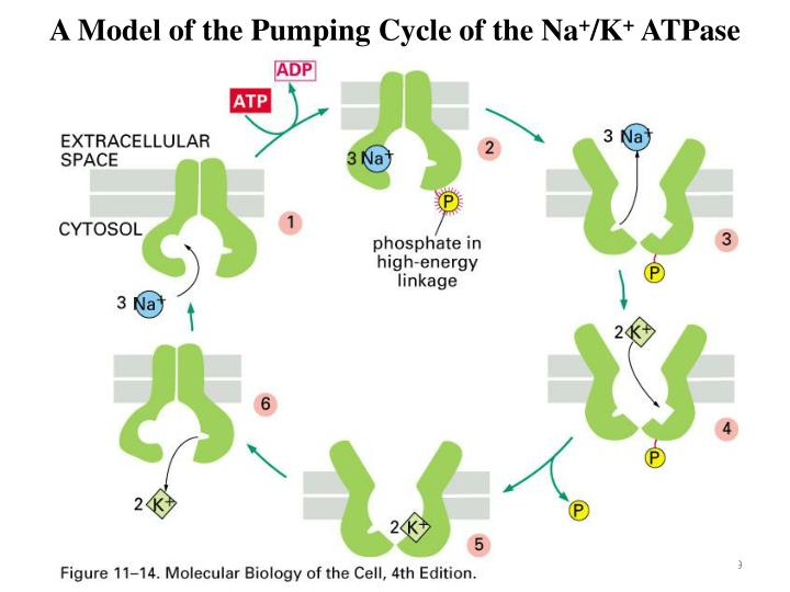 A Model of the Pumping Cycle of the Na