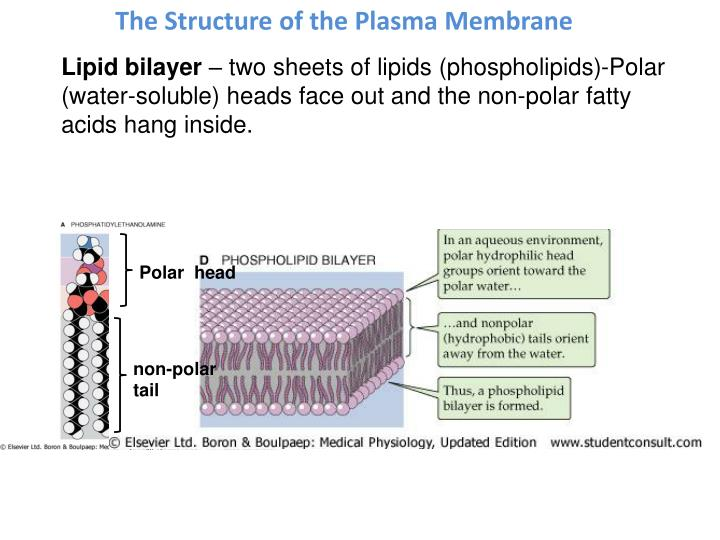 The Structure of the Plasma Membrane