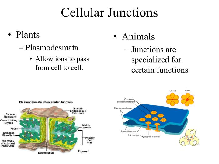 Cellular Junctions