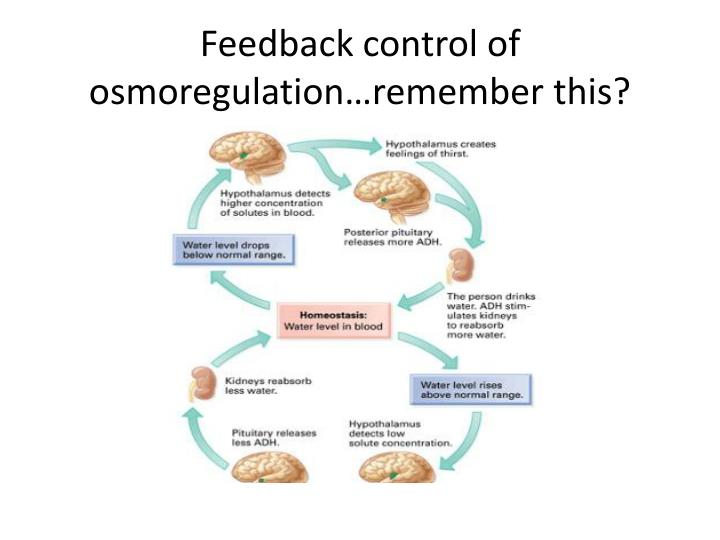 Feedback control of osmoregulation…remember this?