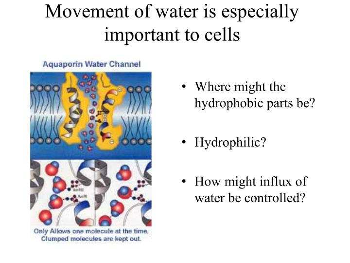 Movement of water is especially important to cells
