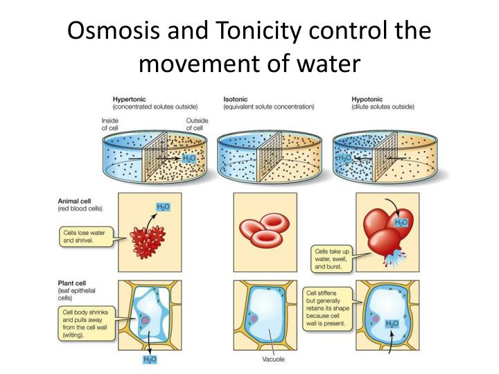 Osmosis and Tonicity control the movement of water