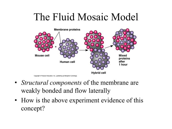 The Fluid Mosaic Model