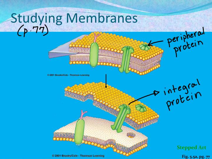 Studying Membranes