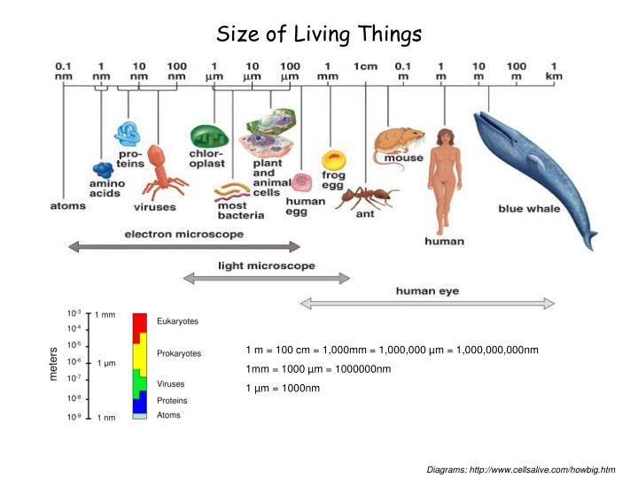 Size of living things