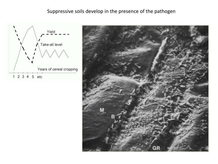 Suppressive soils develop in the presence of the pathogen