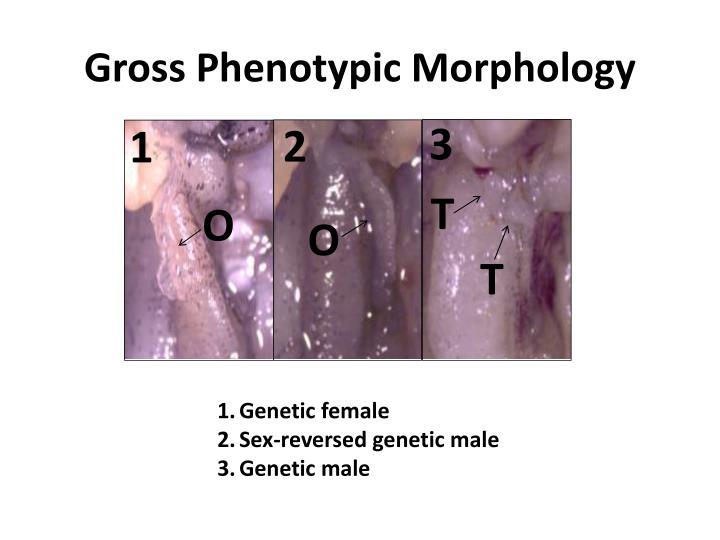 Gross Phenotypic Morphology