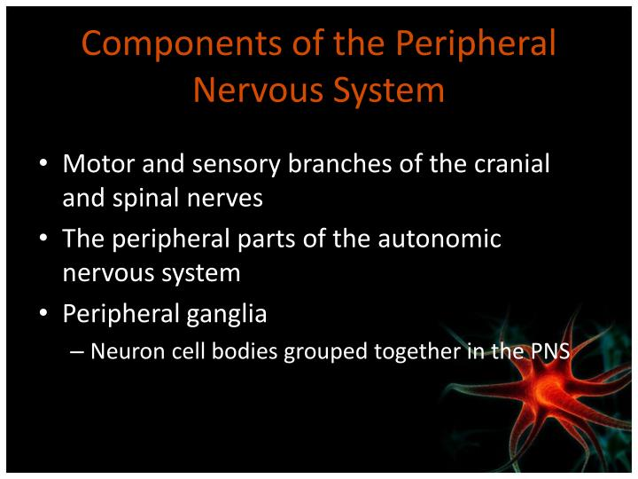 Components of the Peripheral Nervous System