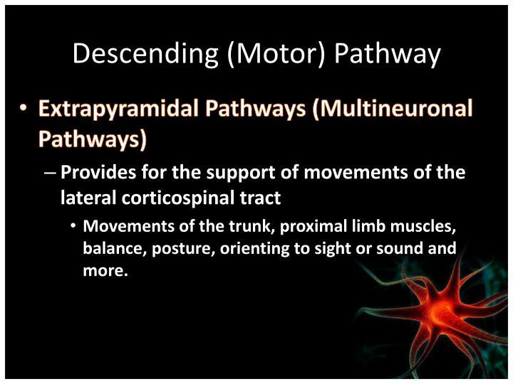 Descending (Motor) Pathway