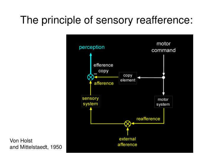 The principle of sensory reafference: