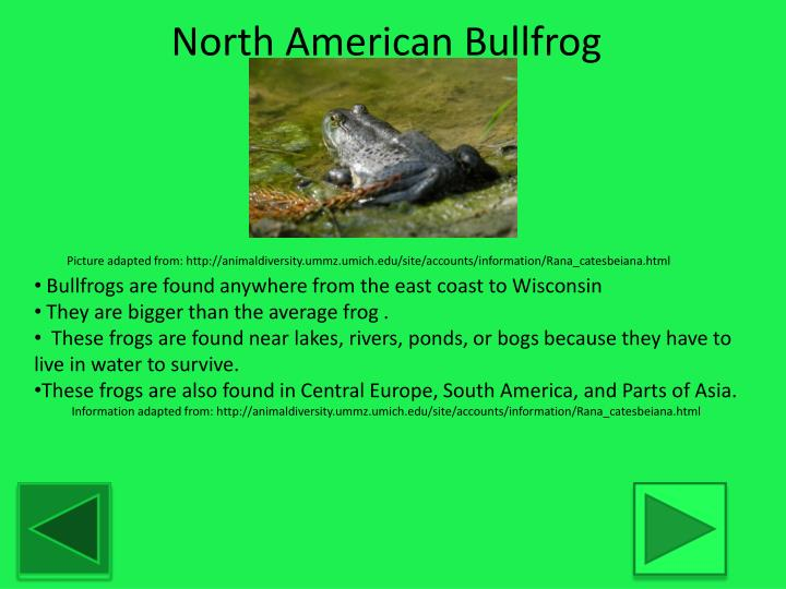 North American Bullfrog