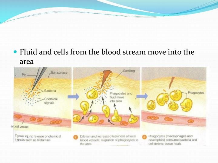 Fluid and cells from the blood stream move into the area