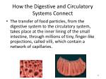 how the digestive and circulatory systems connect