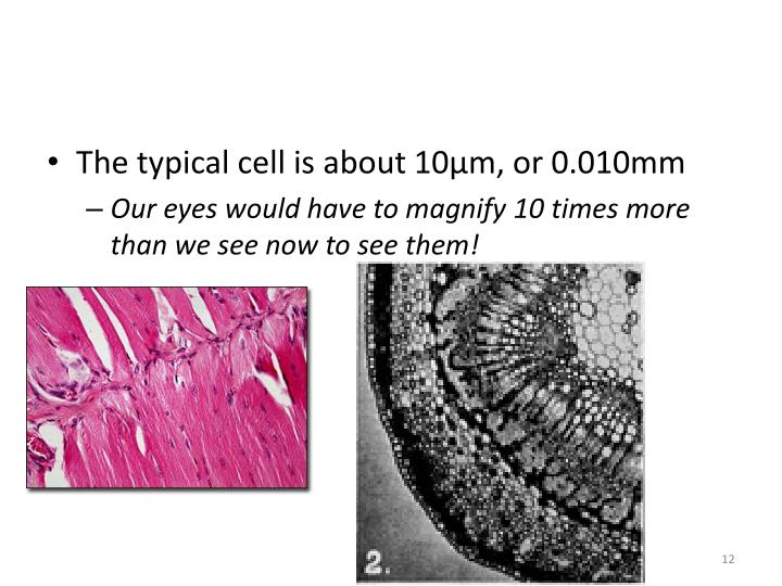 The typical cell is about 10µm, or 0.010mm