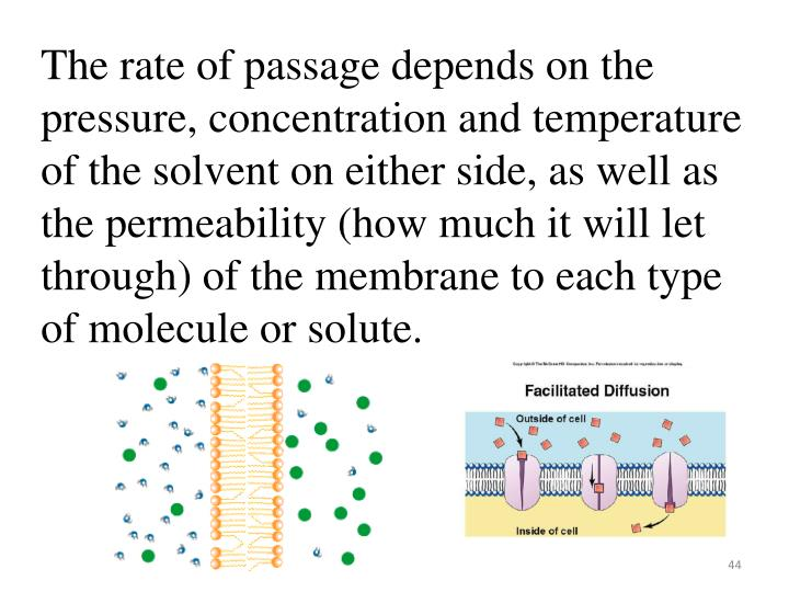 The rate of passage depends on the pressure, concentration and temperature of the solvent on either side, as well as the permeability (how much it will let through) of the membrane to each type of molecule or solute.