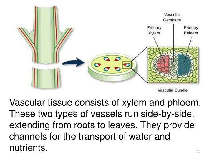 Vascular tissue consists of xylem and phloem. These two types of vessels run side-by-side, extending from roots to leaves. They provide channels for the transport of water and nutrients.