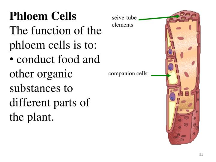 Phloem Cells